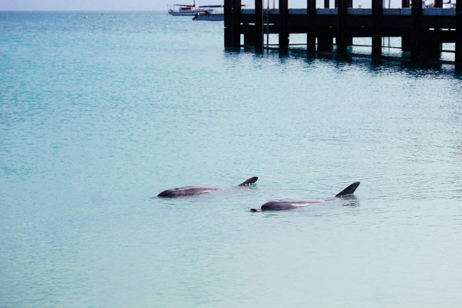 Back in the water, a couple of dolphins are waiting for the feed to officially start.