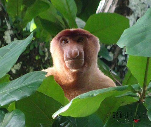 Que faire sur Bornéo en Malaisie voir les singes proboscis