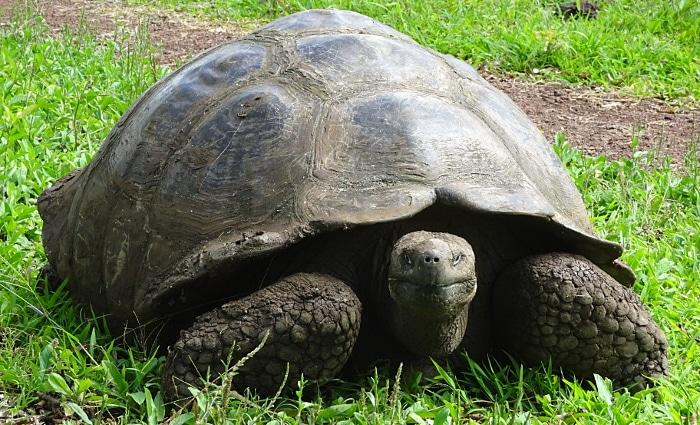 voyage aux Galápagos tortue terrestre