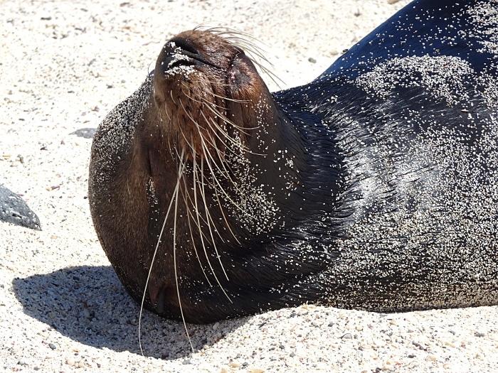 voyage aux galapagos lion de mer couché
