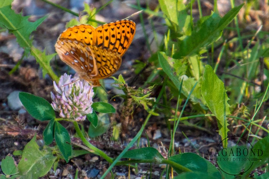 Speyeria Hesperis Beani Butterfly