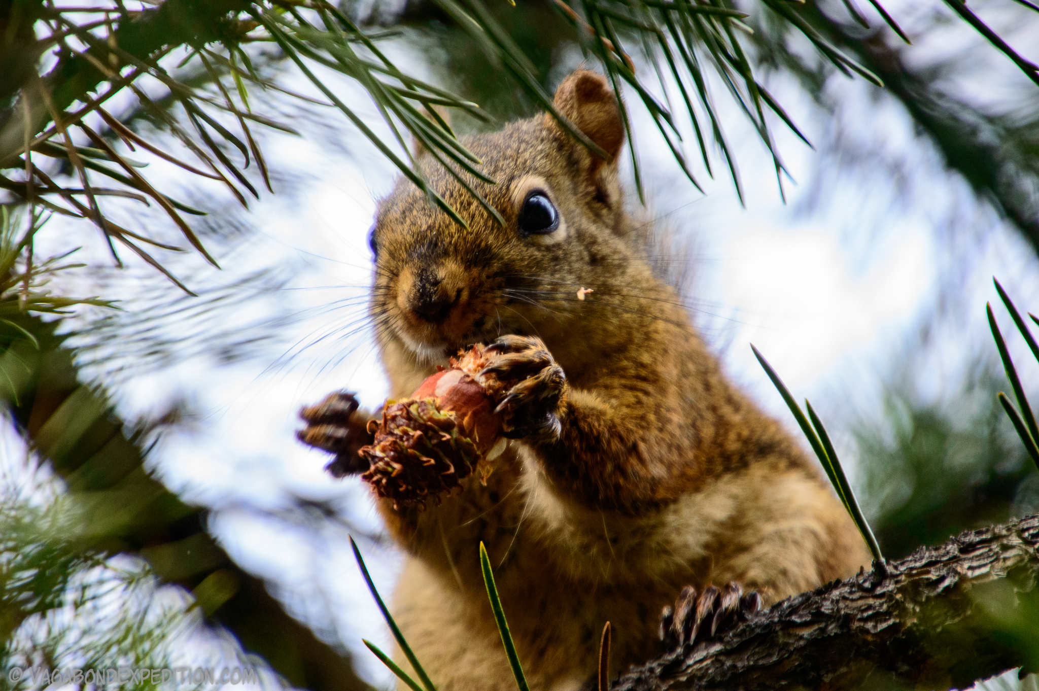 squirrel eating a pine cone