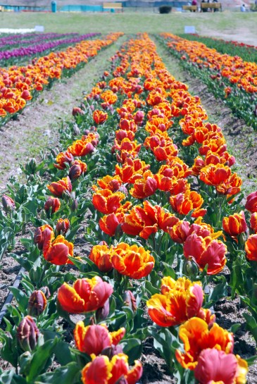There are many such rows of colourful Tulips