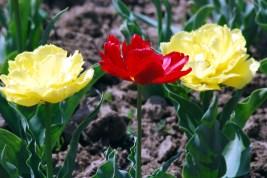 Variety of Tulips in this garden is spellbounding