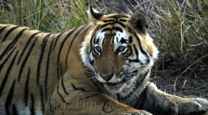 Tale of two Tiger sightings in Ranthambore