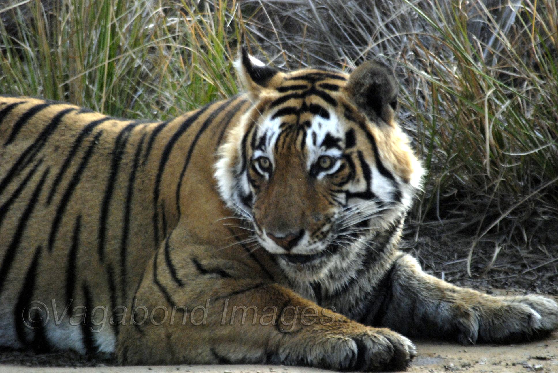 Star-eyed Tiger