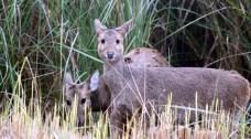 Two hog deers looking at visitors