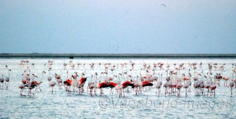 रामेश्वरम से धनुष्कोडी के रास्ते में समुद्र में आस्ट्रेलियाई फ्लेमिंगो