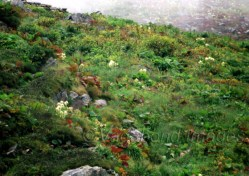 The flowers bloom at the height of the monsoons and abundant in high-altitude places like The Valley of Flowers and Hemkund region. The bract-cover provides the warm space needed to bloom in the cold mountains
