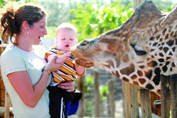 Giraffe Feeding at Tampa's Lowry Park Zoo