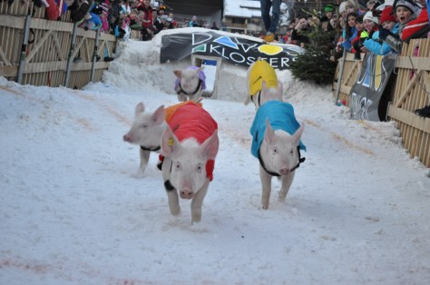 Racing Piglets into the new year at Davos