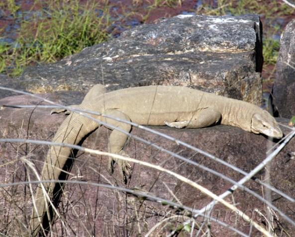 A monitor lizard at Ranthambore