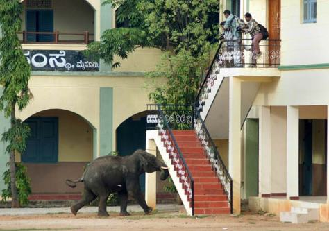 A wild elephant charges towards people standing on a building in Mysore, in Karnataka. Photo: ibnlive.in.com