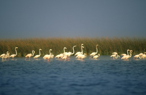 Nal-Migratory bird flamingo