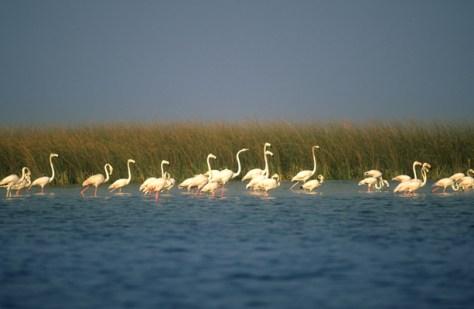 Nal-Migratory bird flamingo