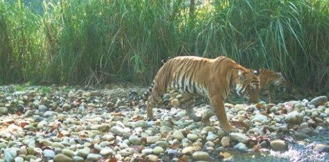 Tigers-Nepal