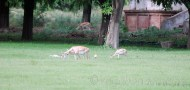 Black Bucks at Sikandara14