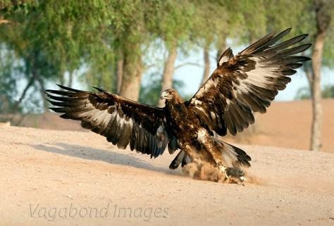 Ras Al Khaimah - Falcon show