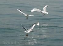 Seagull9