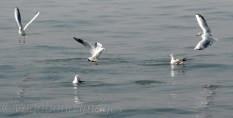 Seagull11