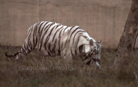 White Tiger in Mukundpur zoo.
