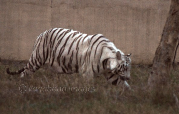 White Tiger in Mukundpur zoo.
