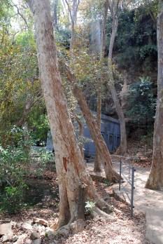 Arjun trees