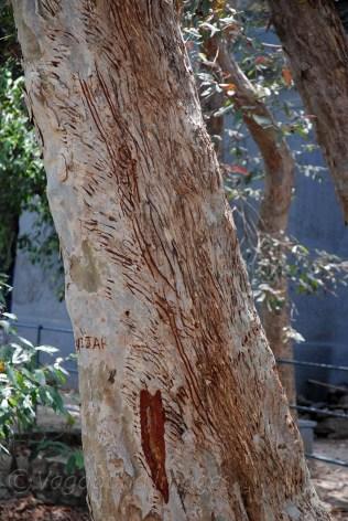 Marks of sloth bear on Arjun trees
