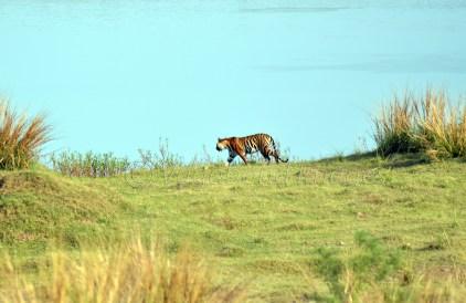 Panna Tiger3