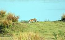 Panna Tiger4