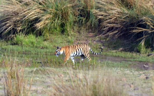 Panna Tiger2