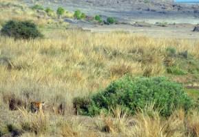 Panna Tiger21