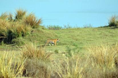 Panna Tiger30