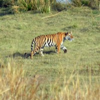 Returning to the tiger in Panna