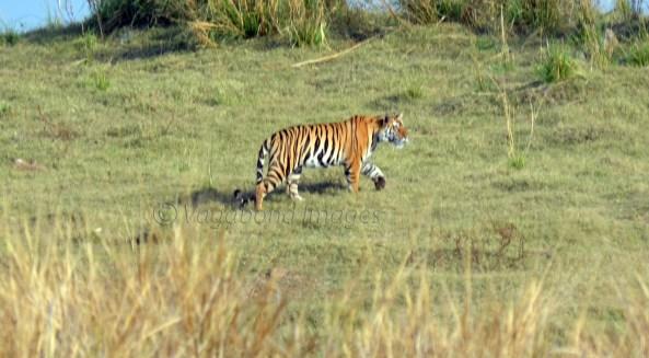 Panna Tiger1