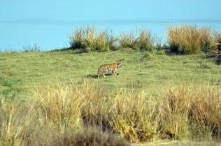 Panna Tiger31
