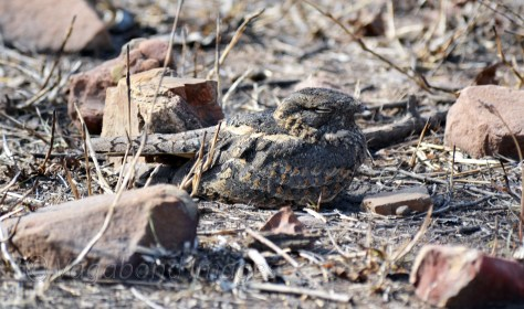 Nightjar at Panna