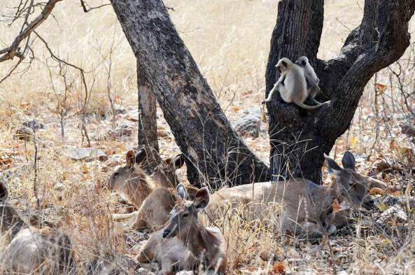 Deer-Monkey friendship at Panna