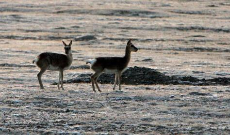 Tibetan Antelope also improved to Near Threatened. Photo: Ahsup