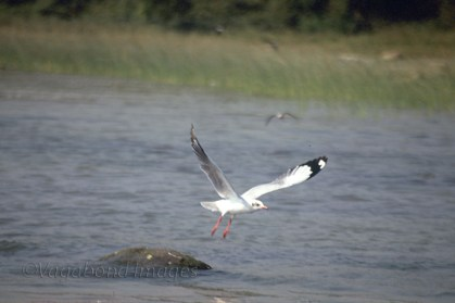 A sea gull taking a flight