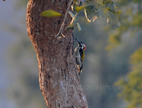 Golden-backed woodpecker