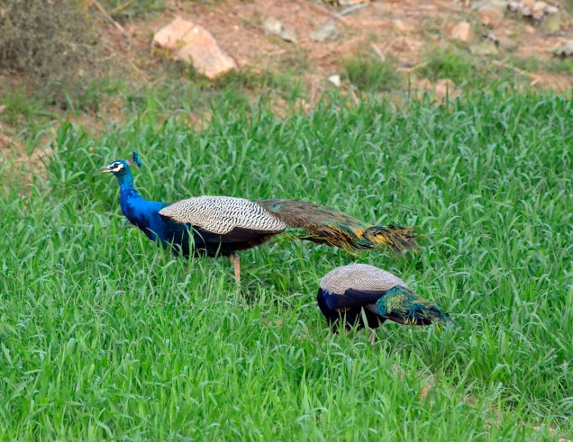 Peacocks in the fields