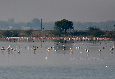 Flamingo colony close to railway track