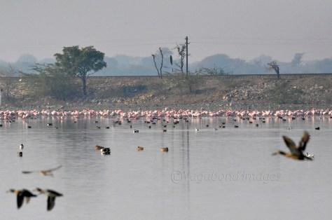 Sambhar Flamingos8
