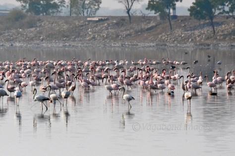 Sambhar Flamingos11