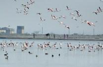 Sambhar Flamingos26