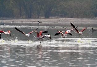 Sambhar Flamingos30