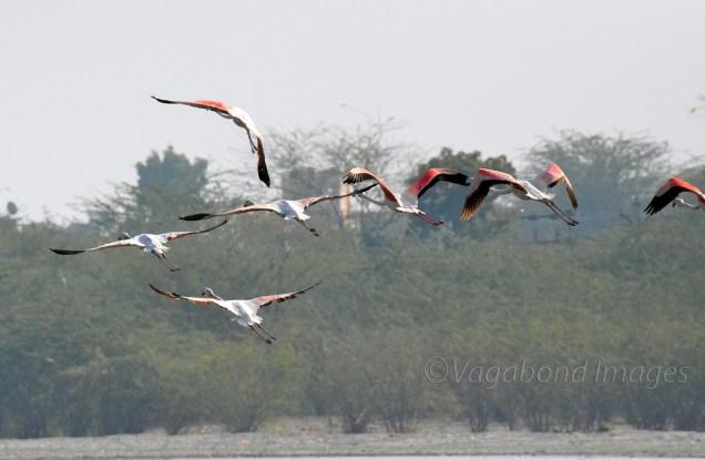 Sambhar Flamingos33