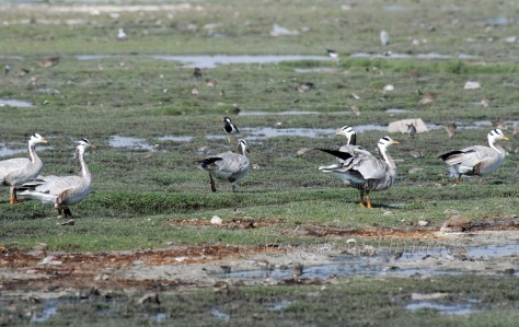 a group of Bar headed geese