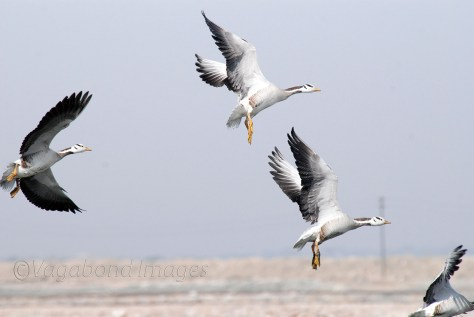 bar-headed geese in flight